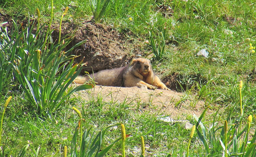 旱獭是冬眠动物。在内蒙古干草原的旱獭在秋分后开始入蛰,它们用碎石和土堵塞多数洞口,仅留一个洞口进出。这期间很少见到成批的旱獭活动,只有少数个体将鲜草衔入洞中。至寒露前后才将洞口用粪泥塞住,进入冬眠。冬眠期如遇惊动,仍可觉醒,直至翌年4月出蛰。