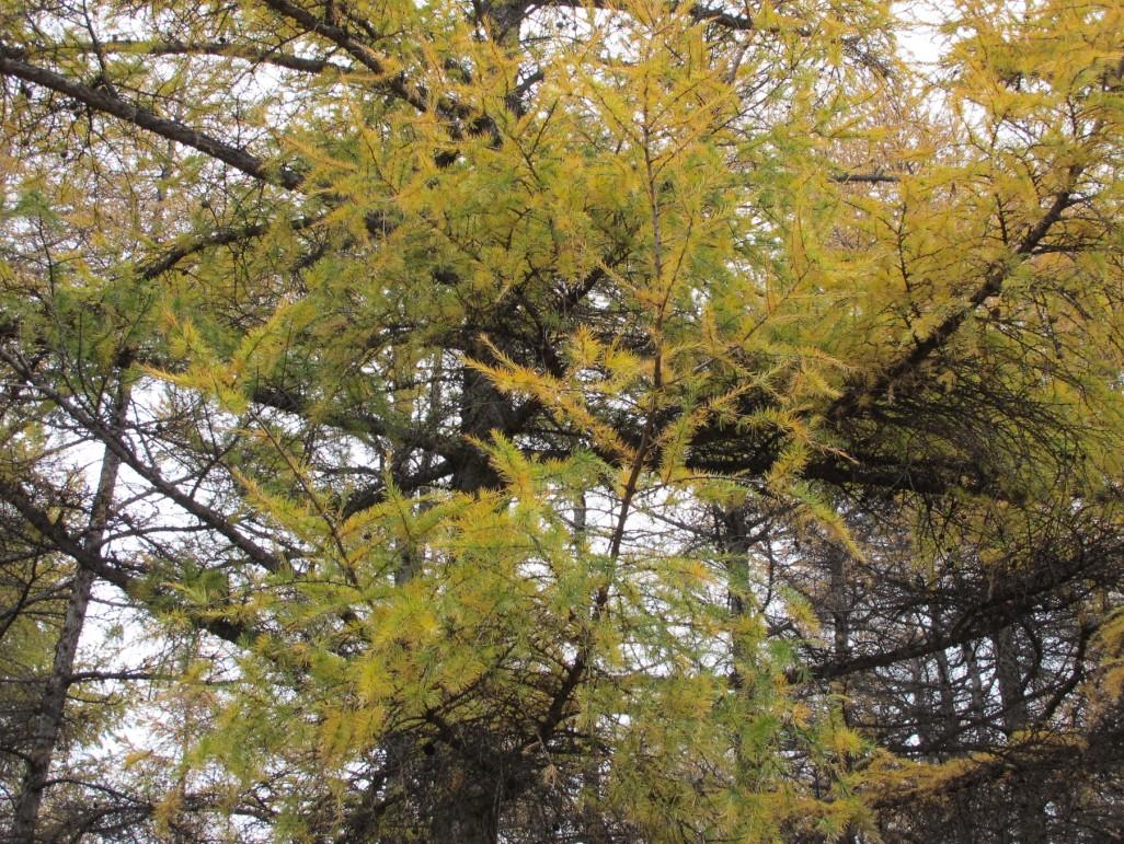 很多落叶松分布,应该是落叶松,为数不多的落叶的松树。。。 百度百科了下: 落叶松(松科落叶松属植物) 落叶松,为松科落叶松属的落叶乔木,是中国东北、内蒙古林区的主要森林组成树种,是东北地区主要三大针叶用材林树种之一。落叶松天然分布很广,它是一个寒温带及温带的树种,在针叶树种中是最耐寒的,垂直分布达到森林分布的最上限。落叶松的木材重而坚实,抗压及抗弯曲的强度大,而且耐腐朽,木材工艺价值高,是电杆、枕木、桥梁、矿柱、车辆、建筑等优良用材。同时,由于落叶松树势高大挺拔,冠形美观,根系十分发达,抗烟能力强。所以,