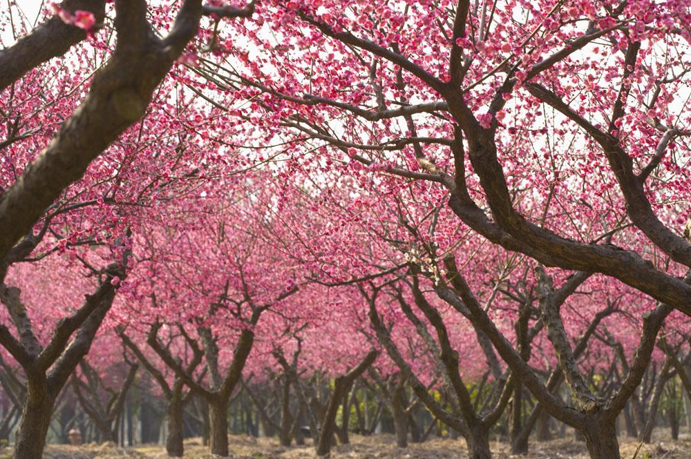 手绘桃树油画