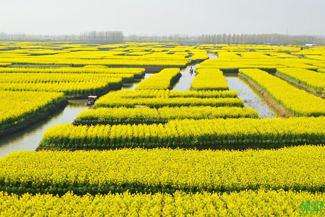 兴化千岛油菜花-生态公益-绿野主版-绿野户外网