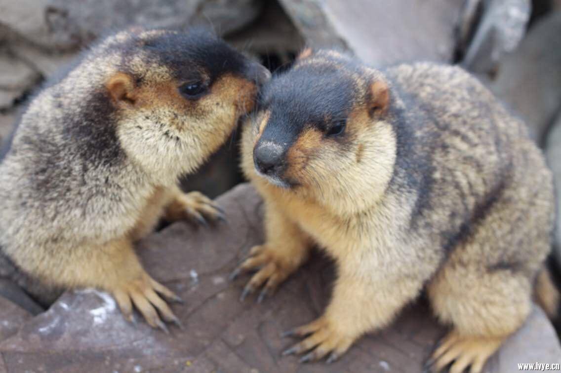 端午节我们一起去看可爱的土拨鼠好吗?