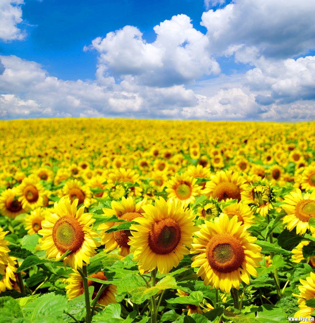适合做微信头像 的图片 风景图片向日葵