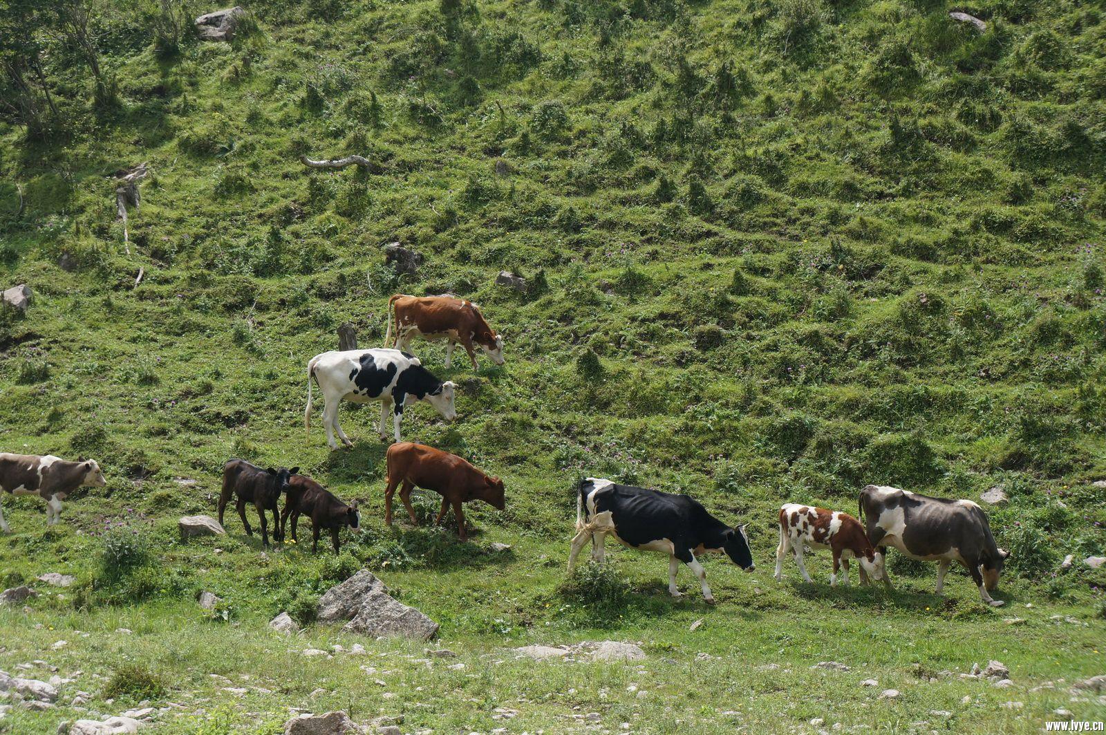 会车时拍的牛群