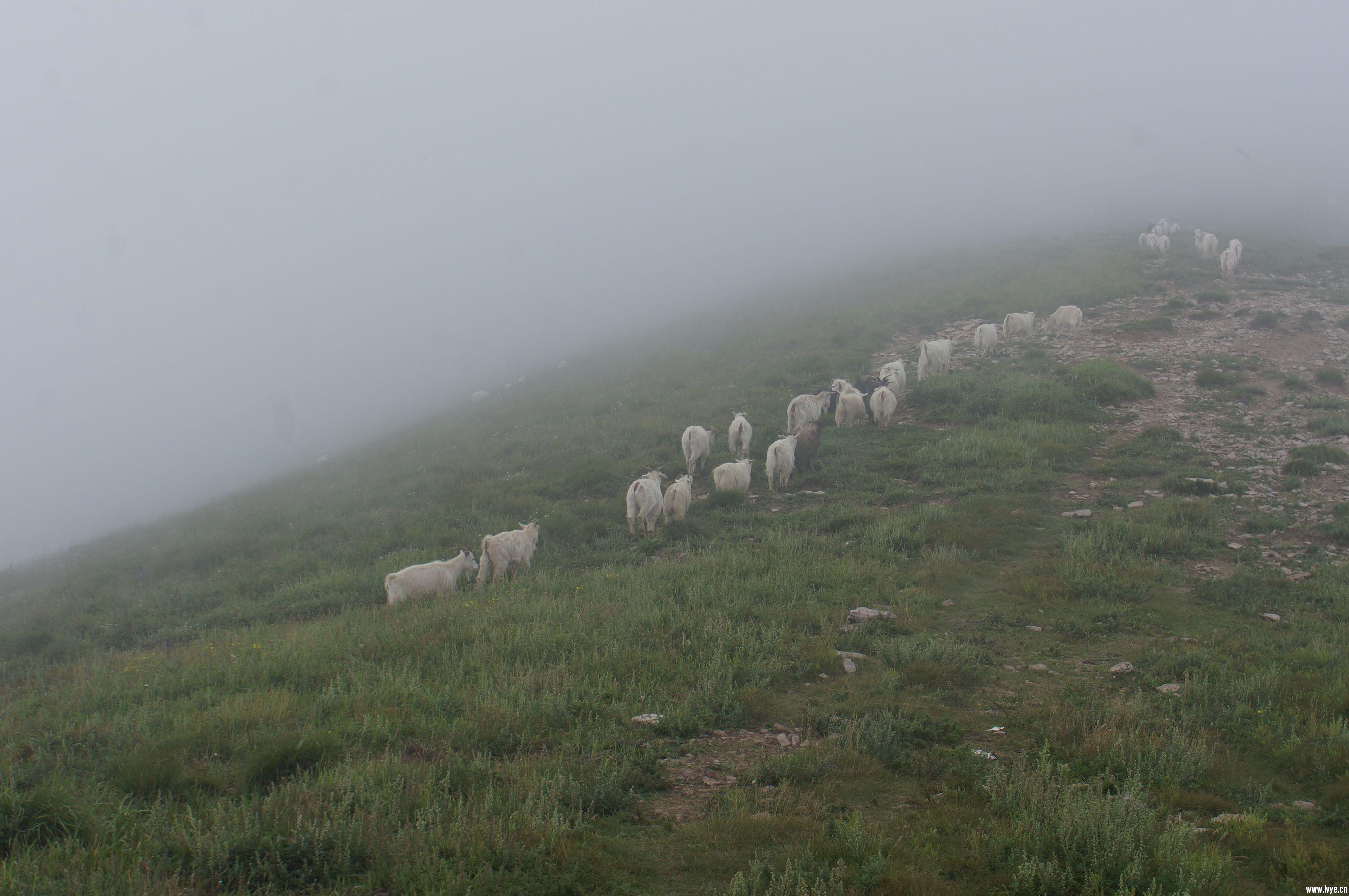 山脊的羊群