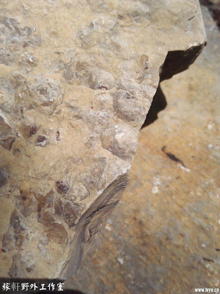 034贝类化石 (2).jpg