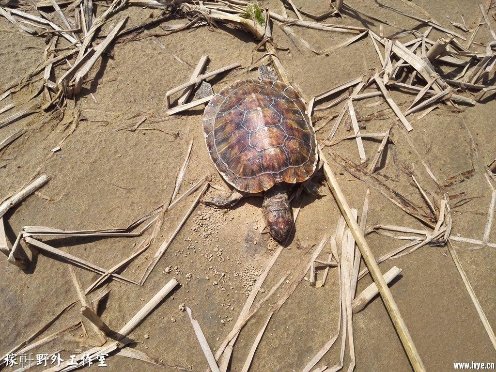 039死翘翘的巴西龟——安倍晋三郎.jpg