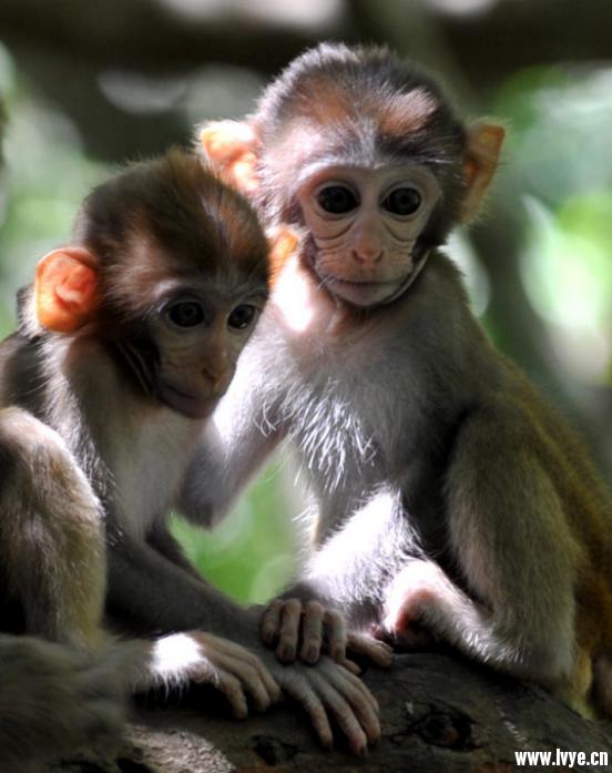可爱卖萌的小猴子