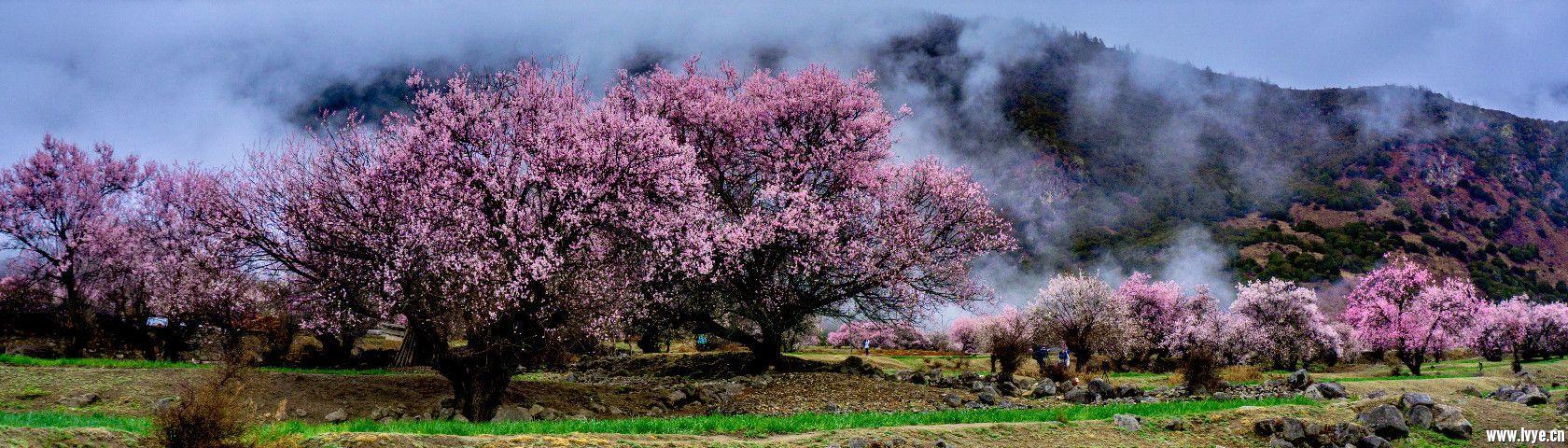 倾多镇   许木乡(今日主要看桃花,林芝桃花节开幕时间定为2017年3月