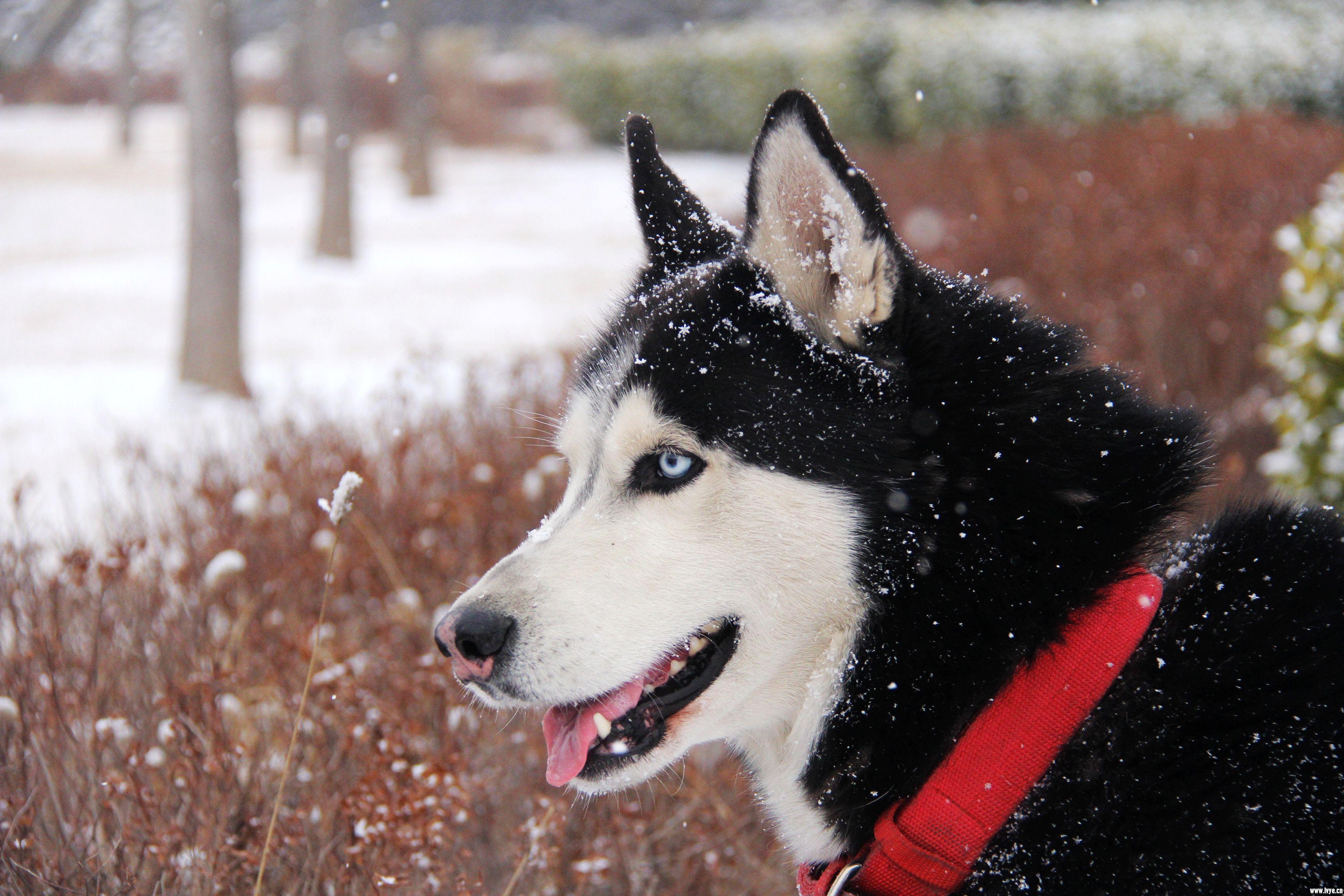 雪中的二哈