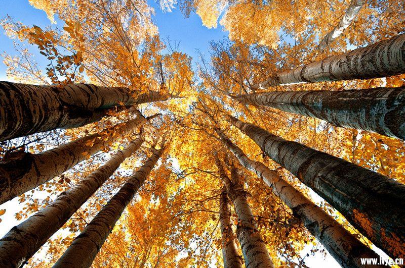 杨树林2.jpg