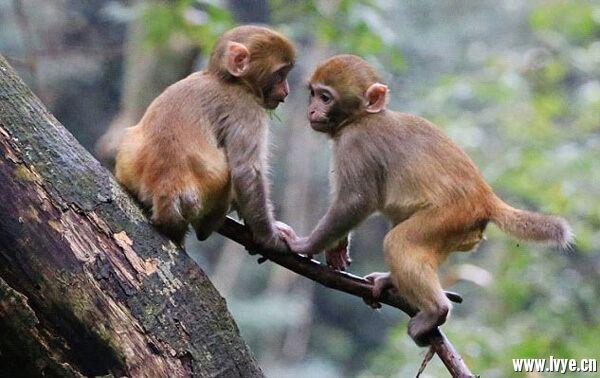 金鞭溪猴群