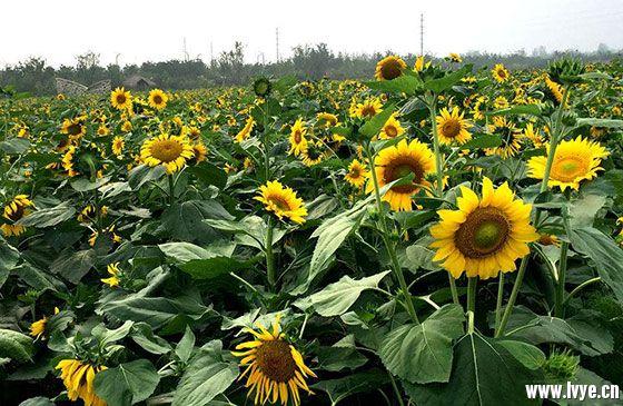 青岛西海岸赏花景点