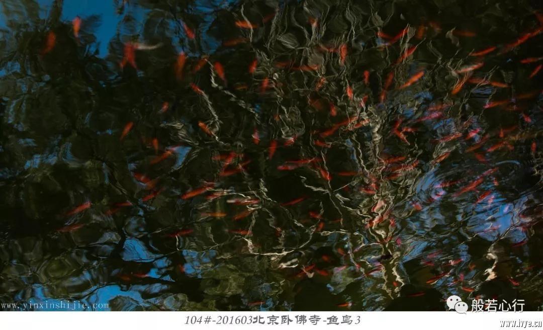 104#-201603北京卧佛寺-鱼鸟3.jpg