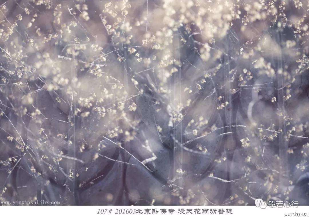 107#-201603北京卧佛寺-漫天花雨沥菩提.jpg