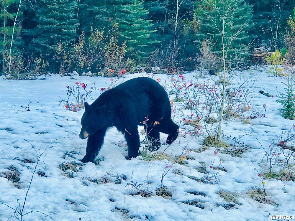 黑熊.jpg