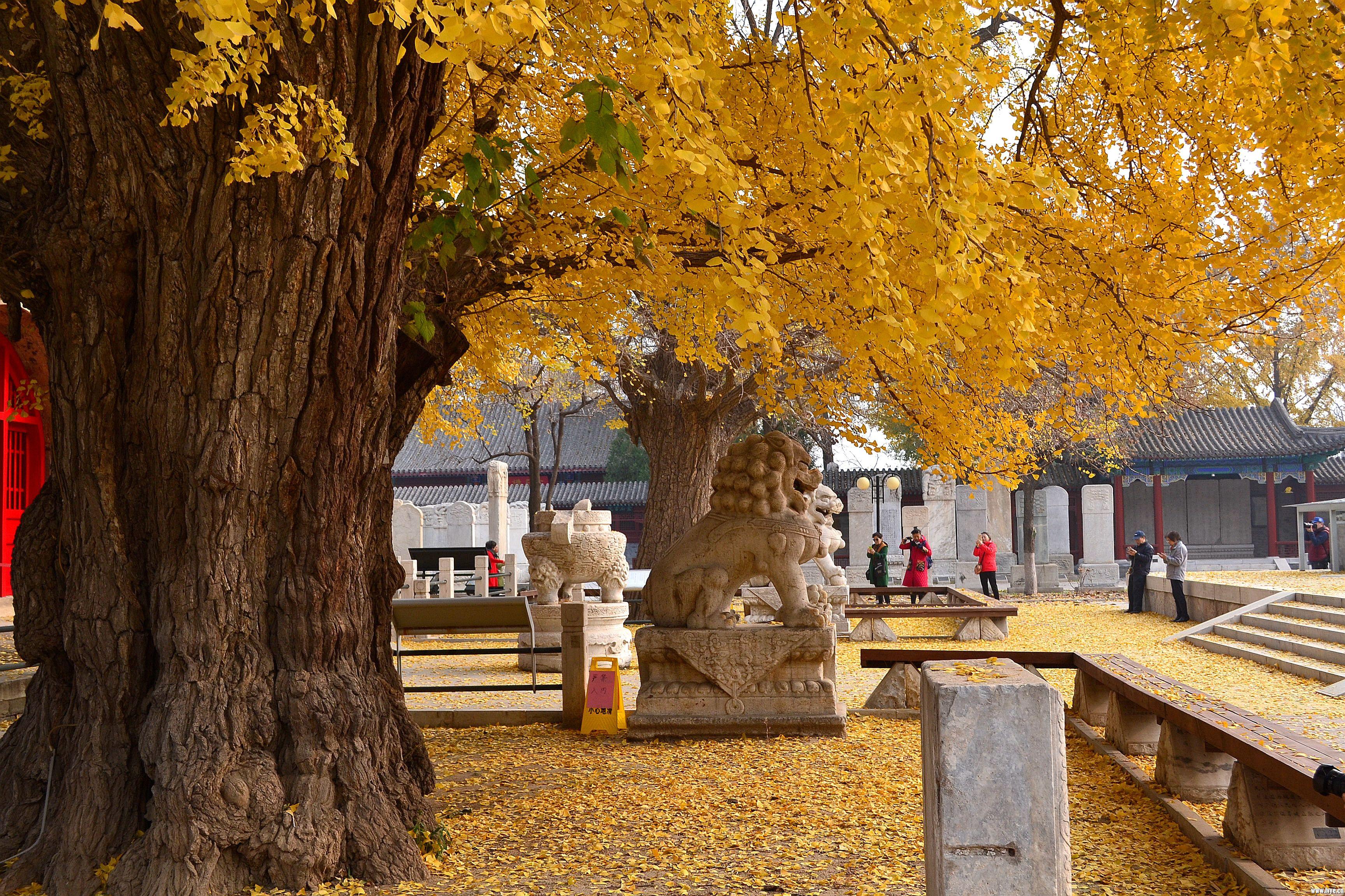 五塔寺的古银杏