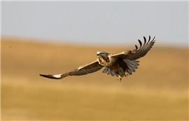 自然景物——驹行天下《雄鹰》