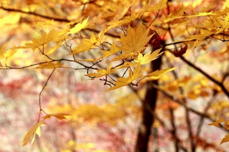 秋后枫情——寒意金秋凋落的枫叶