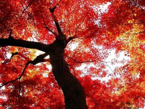 久负盛名的香山红叶,可以媲美香山红叶的云蒙山 .   阅读全文>>