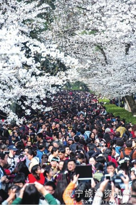 赏樱花去武大看人海不如去武汉南郊咸宁