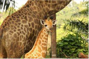 新加坡动物园迎来个头最高的宝宝