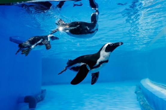 """企鵝來了!北京海洋館打造""""非常部落狂歡季"""""""